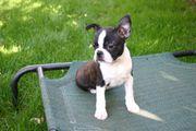 Miniature Boston Terrier Rüde XXS