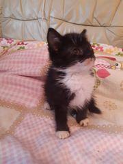 Maine Coon Mix Katzen Baby
