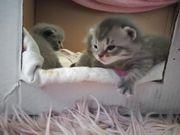 BKH Kitten reinrassig suchen bald