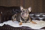 Französischer Bulldoggen Rüde