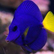 Meerwasser Rotmeer-Doktorfisch