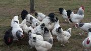 Bruteier von großen Sundheimer Hühner