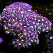 SUCHEN für Meerwasserbecken Fische Korallen