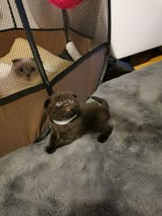Scottish Fold Kitten männlich