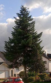 Großer Weihnachtsbaum Weißtanne 15m hoch