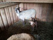 Aue mit Bocklamm Schafe Nolana