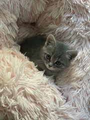 Britisch Kurzhaar Kätzchen in grau