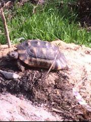 breitrand landschildkröte