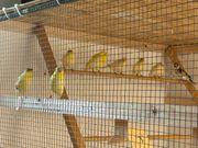 Deutsche Haube Kanarienvogel