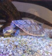 2 Wasserschildkröten weiblich