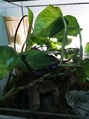 Skorpion 2x Heterometrus Cyaneus