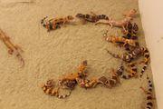 50 Leopardgeckos verschiedene Farbmorphen