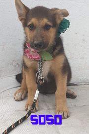 Hübscher Hunde Welpe Soso