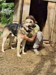 Hübscher Schäferhund Malinois Mischling Wampe