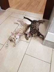 Bengal Kitten weiblich