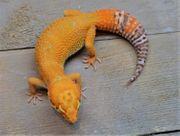 Leopardgeckos 21 Eublepharis macularius