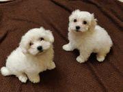 Süße Malteser 3 Monate alt