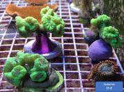 Korallen Korallenableger Meerwasser - Gorgonien Zoanthus