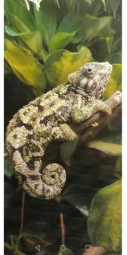 Suche Chamäleon Trioceros Sternfeldi Weibchen