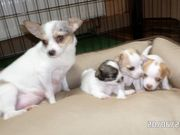 reinrassige Chihuahua Baby s