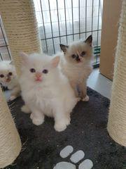 Heilige Birma Perser Kätzchen