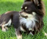 Chihuahua Hündin gesucht