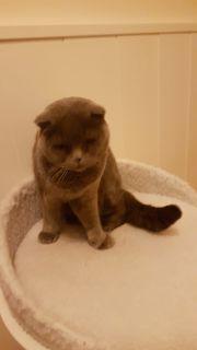 BRITISCH Kurzhaar Katze