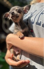 Reserviert Chihuahua in Blue