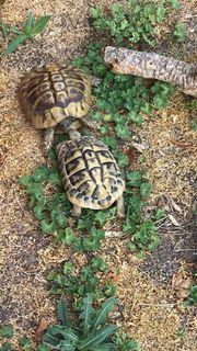 Weibliche Landschildkröte gesucht