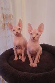 Kleine Kitten Don Sphynx suchen