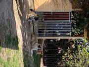 Kangal Herdenschutzhunde