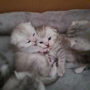 Babykatzen wunderschöne Kitten
