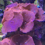 Meerwasser Koralle Scheibenanemone