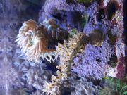 Korallenableger 5 -