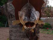 Zander -Echt -ausgestopfte tiere-ausgestopfter fisch
