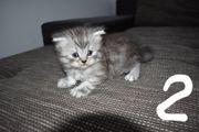 BKH BLH Kitten Scottish Fold