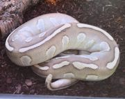 Python Regius Königspython weiblich Fire