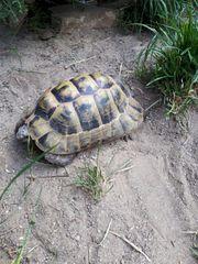Maurische Landschildkröte - Testudo Graeca