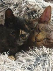Sphynx Kitten Mädchen