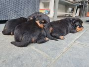 Rottweiler Welpen