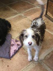 Zauberhafte Wasserhund Mischlings Welpen suchen