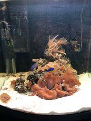 Meerwasseraquarium Aquarium Koralle Anemone Meerwasser