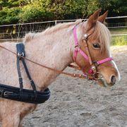 Welsh-Ponystute mit Kutsche
