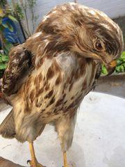 Habicht Greifvogel Adler Bussard Falke