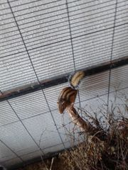 Sibirisches Streifenhörnchen inklusive Käfig