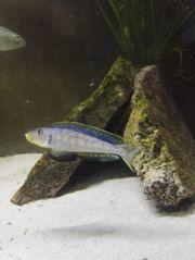 NZ Enantiopus sp Kilesa
