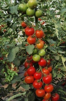 Set4 Tomate Moneymaker - Inhalt 15: Kleinanzeigen aus Lauterach - Rubrik Pflanzen