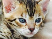 Bengal Kitten Katerchen Moppel sucht