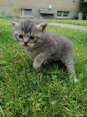 BKH - Perser Mix Kitten ab