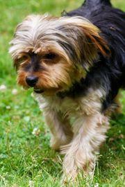 Tom - Yorkshire Terrier Mix liebevoll